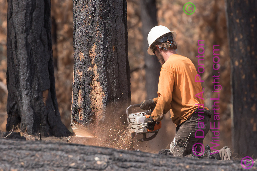 Tree feller making the main cut in a fire killed ponderosa pine with a chain saw, Cajete Fire timber salvage, Santa Fe National Forest. © 2018 David A. Ponton
