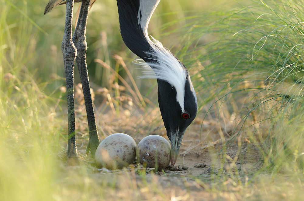 Mission: Saiga .A demoiselle crane (Anthropoides virgo) on its nest in the steppe of Cherniye Zemly (Black Earth) Nature Reserve, Kalmykia, Russia, April 2009  (Anthropoides virgo).