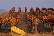 Vineyards and hay bale, Carneros Region, Napa County, California