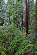 Green grows in many forms as far as the eye can see, Muir Woods National Monument