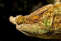 Male Parson's Chameleon (Calumma parsoni) close-up, Eastern Madagascar