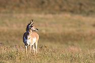 Female Pronghorn (antelope) in autumn habitat.