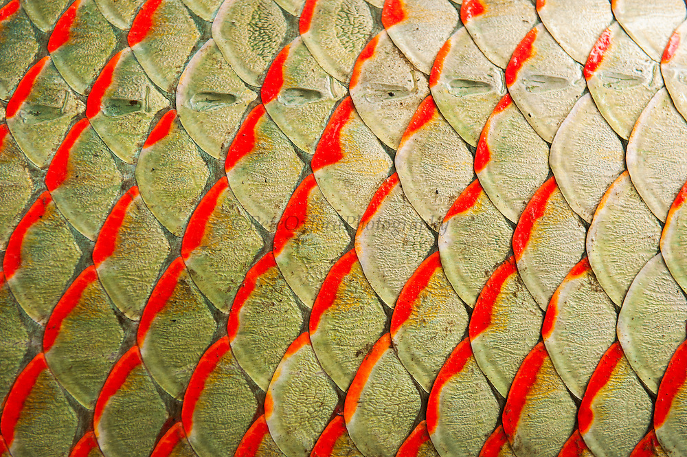 Arapaima scale detail for Get fish scale