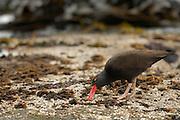 Blackish Oystercatcher (Haematopus ater) | Schwarzer Austernfischer (Haematopus ater) hebelt Seepocken vom Fels