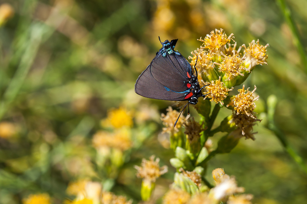 Atlides halesus corcorani (Great Blue Hairstreak) ♂ at Sand Rock Creek, Los Angeles Co, CA, USA, on California broomsage 19-Aug-17