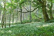 Delicate dawn light in Glenashdale Forest, Isle of Arran illuminates a carpet of Wood Anemones (Anemone nemerosa) amongst Birch (Betula pendula) trees.<br /> <br /> Date taken: 11 June 2016.