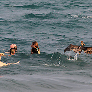 Swimmers share the beach with brown pelicans, Pelecanus occidentalis in South Florida. <br />  Photography by Jose More