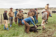 Cattle branding at the Gross Wilkinson Ranch in Pine Bluffs, WY on May 20, 2015.