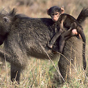 Chacma Baboon, (Papio ursinus) Young baboon carried jockey-fashion on mother's back. Kruger National Park. South Africa.