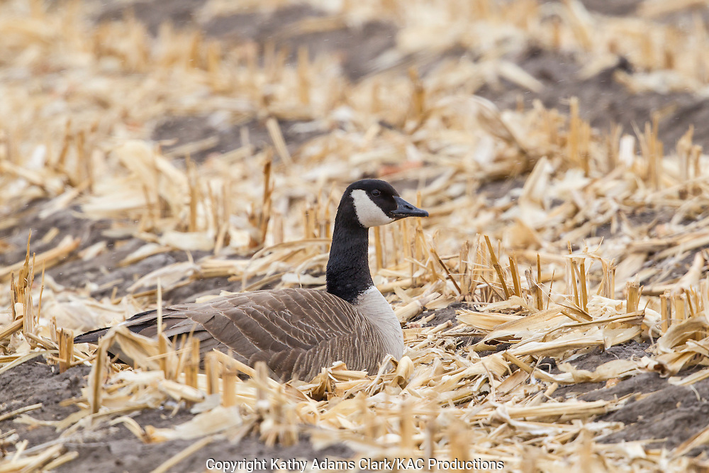 Canada goose, corn field, winter; Grand Island; Nebraska.