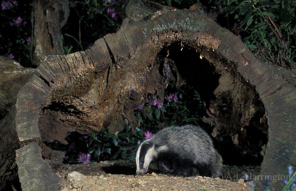 Badger meles meles UK