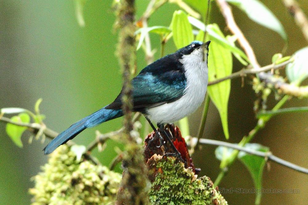 Fan-tailed Berrypecker, Melanocharis versteri, Papua New Guinea, by Markus Lilje