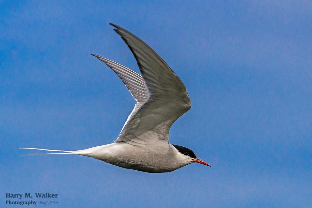 Arctic Tern (Sterna paradisaea) hovers above photographer; Seward Alaska