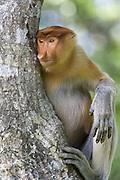 Proboscis Monkey<br /> Nasalis larvatus<br /> Sabah, Malaysia