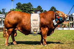 Grande Campeão da raça Limousin durante a 38ª Expointer, que ocorrerá entre 29 de agosto e 06 de setembro de 2015 no Parque de Exposições Assis Brasil, em Esteio. FOTO: Vilmar da Rosa/ Agência Preview