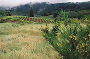 Jack London State Historical Park, in Glen Ellen, California (Sonoma County). Vineyards adjacent to park (seen from park on a rainy day).