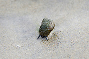 A Common Periwinkle with an algae-covered shell moves slowly across a wet, sandy beach at low tide.