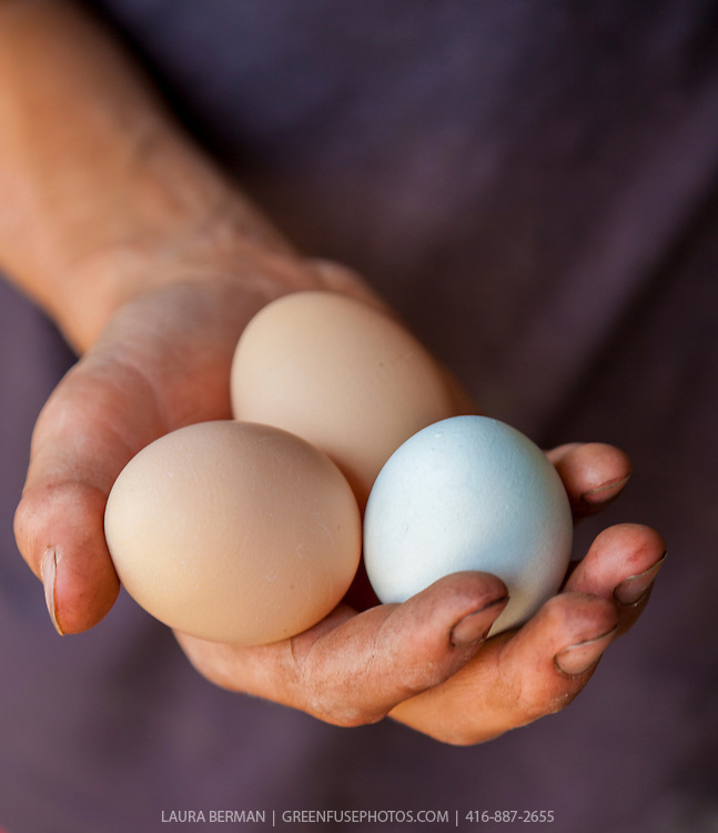 Three newly laid organic eggs-one white and two brown-held gently in a young farmer's hand.