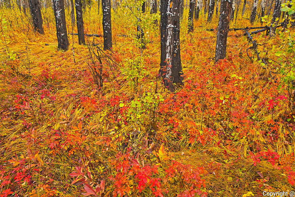 Fall colors in the understory of an aspen forest. Sawback Range in the Bow Valley.<br />Banff National Park<br />Alberta<br />Canada