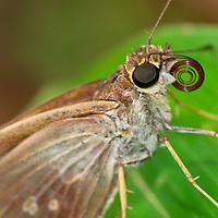 Alberto Carrera, Butterfly, Corcovado National Park, Osa Conservation Area, Osa Peninsula, Costa Rica, Central America, America