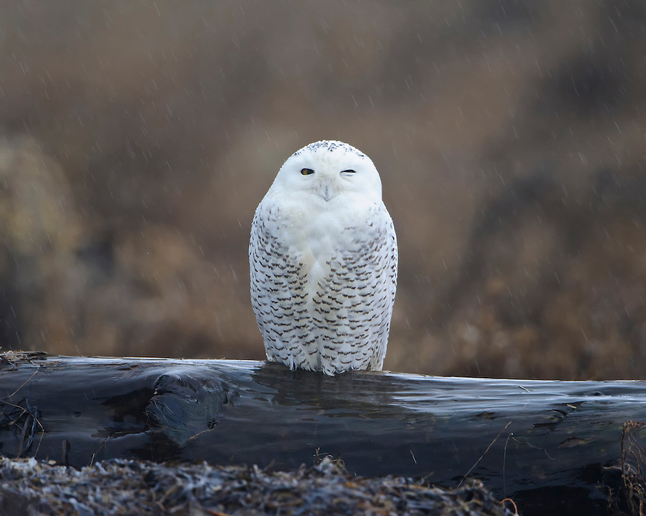 Snowy Owl on a driftwood log, Pacific Northwest Coast