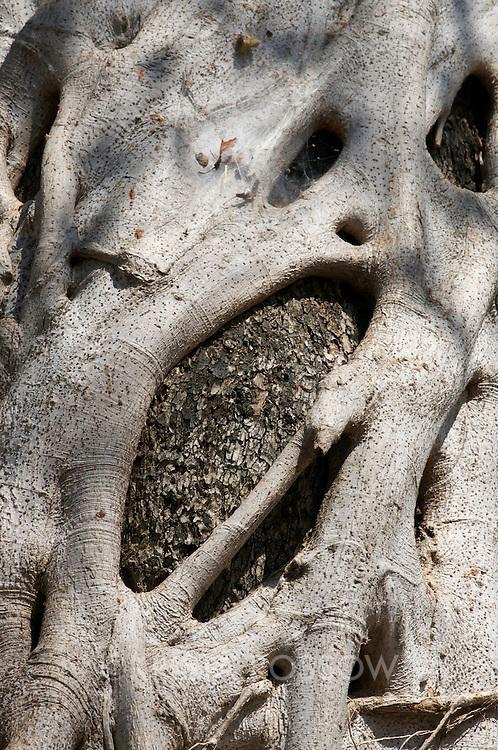 An ebony tree's bark is covered by a strangler fig tree.