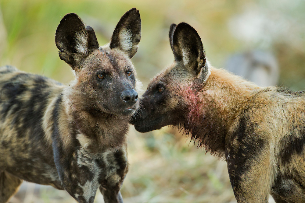 Africa, Botswana, Moremi Game Reserve, Wild Dog (Lycaon pictus) greeting another at Impala kill site at dawn along Khwai River