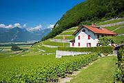 Chablais vines at wine estate, Clos du Rocher, at Yvorne in the Chablais region of Switzerland