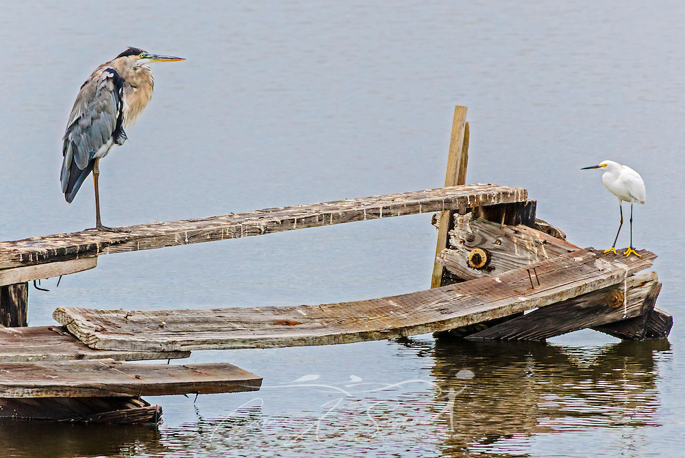 A great blue heron faces off with a snowy egret, Aug. 29, 2014, in Bayou La Batre, Alabama. (Photo by Carmen K. Sisson/Cloudybright)