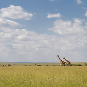 Two giraffe (Giraffa camelopardalis) in Masai Mara National Reserve. Kenya, Africa