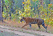 Tiger in Kanha National Park, India.