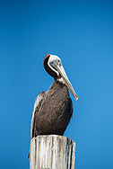 A pelican in Shem Creek.