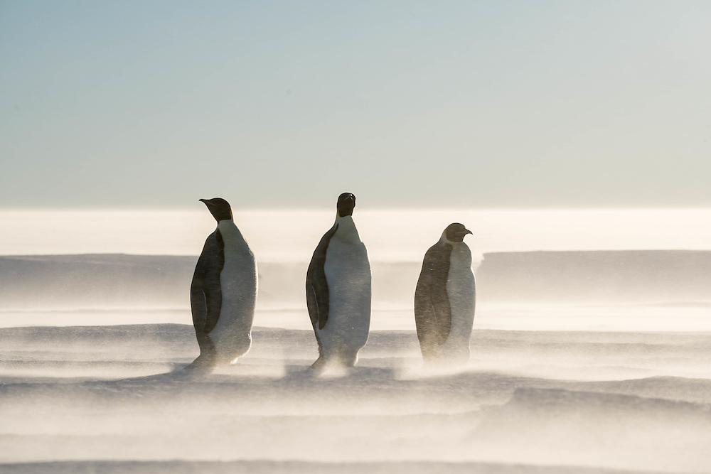 Emperor penguins, Gould Bay, Weddell Sea, Antarctica / Pingüinos emperadores, Bahía Gould, Mar de Weddell, Antártida