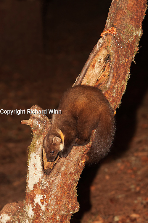 Young pine marten searching for food in a dead tree trunk.