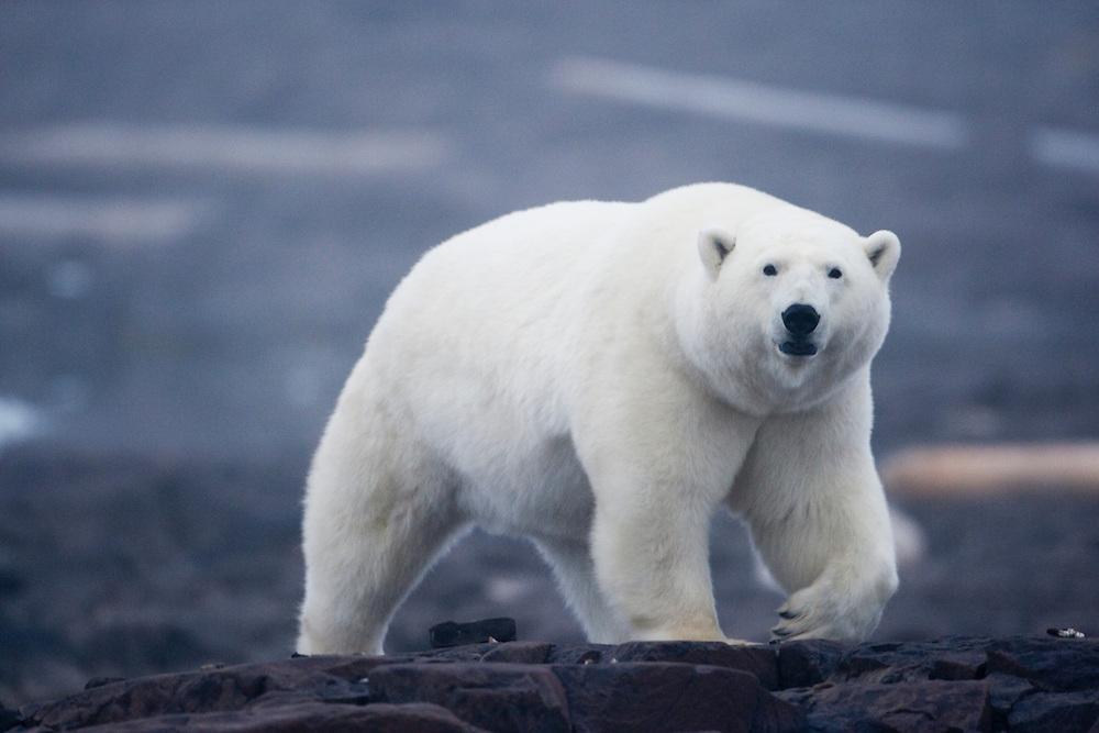 Norway, Svalbard, Nordaustlandet, Polar Bear (Ursus maritimus) walking along rock coastline on Malmgren Island on foggy evening