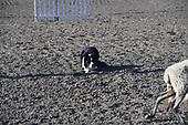 Eastern Idaho Stock Dog trail 18