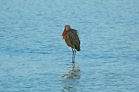 "The very rare and reclusive reddish egret at the J.N. ""Ding"" Darling National Wildlife Refuge on Sanibel Island - internationally known as one of the best birding sights for seabirds."