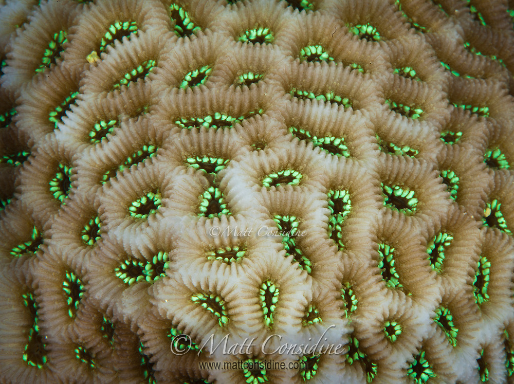 Hard coral, abstract macro - Yap Micronesia - (Photo by Matt Considine - Images of Asia Collection)