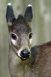 05 June 2005:   The tufted deer is a small species of deer characterized by a prominent tuft of black hair on its forehead and fang-like canines for the males