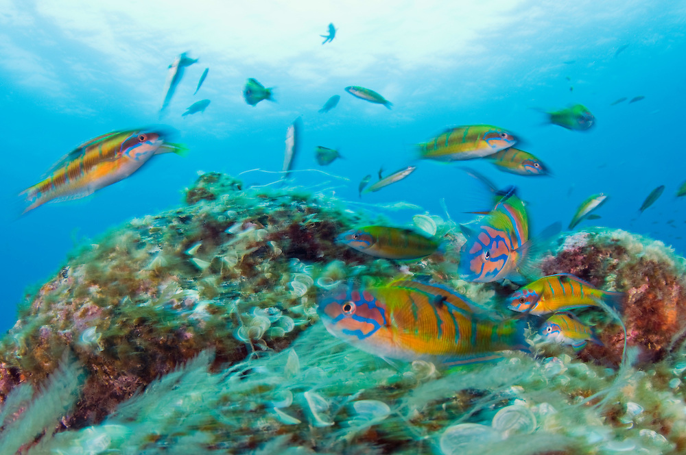 Turkish wrasses, Thalassoma pavo, in movement., Pico, Azores, Portugal.Model release by photographer