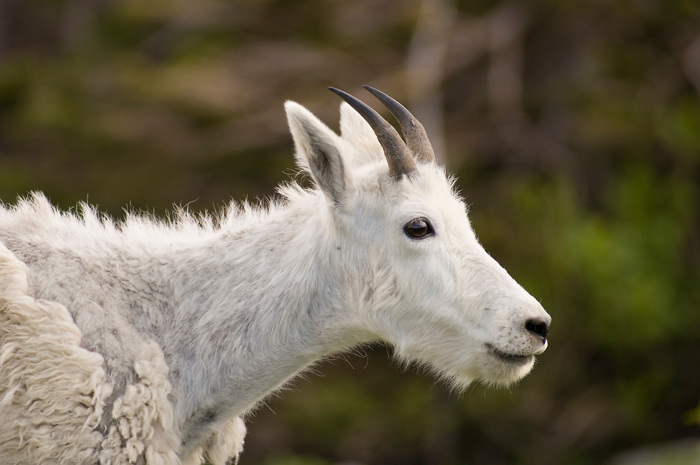 Mountain goat, with molting coat, at Logan Pass, Going to the Sun Road, Glacier National Park, Montana..#05061868