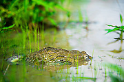 The African Bullfrog is the largest amphibian found in southern Africa.