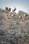 A Bull Elk stands on a ridge with his harem at Oak Creek in the Cascade Range, Washington, USA