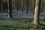 A Bluebell landscape in rural woods, on 23rd April 2017, in Wrington, North Somerset, England.
