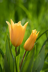 Tulipa praestans 'Shogun' growing in grass.
