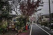 Rare Springtime Snow Falls on Tokyo Cherry Blossoms