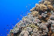 Orange, Purple (Pseudanthias tuka) and Redfin (Pseudanthias dispar) Anthias fish swimming over soft coral on tropical reef - Agincourt reef, Great Barrier Reef, Queensland, Australia.