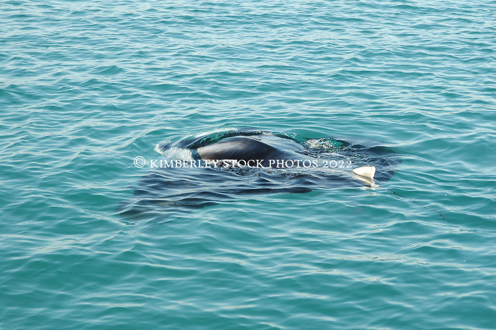 A manta ray feeds near the surface in Warrulgu Inlet on the Kimberley coast.