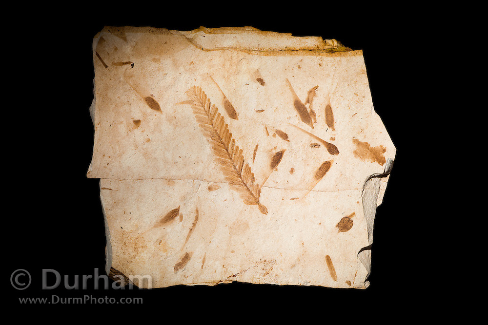 33 million year old fossil dawn redwood needle leaves (Metasequoia sp) surrounded by maple seeds (Acer sp.). John Day Fossil Beds, Oregon.