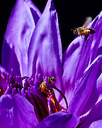A water lily, and two bees, at the Lily Pond.